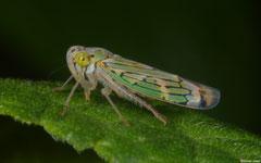 Planthopper (Fulgoromorpha sp.), Lajas de Yaroa, Loma del Puerto, Dominican Republic