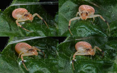 Crab spider (Thomisidae sp.), Samal Island, Philippines