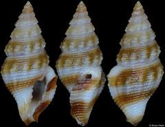 Etrema sp. (Philippines, 7,9mm)