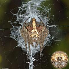 Malagasy bark spider (Caerostris sp.), Andasibe, Madagascar