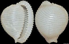 Trivellona bealsi (Philippines, 9,8mm)