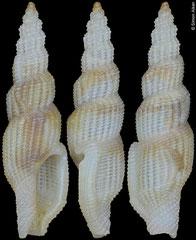 Exomilus cf. telescopialis (Philippines, 9,7mm)
