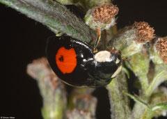 Harlequin ladybird (Harmonia axyridis), York, UK
