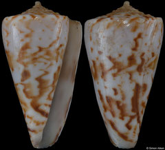Conus transkeiensis (South Africa, 33,9mm) Gd €55.00