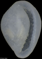 Granulina sp. (Pacific Mexico, 1,7mm) F+++ €3.00