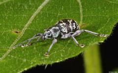 Weevil (Curculionidae sp.), Samal Island, Philippines