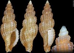 Pseudodaphnella sp. (Philippines, 7,5mm)