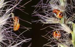? nymphs, Broome, Western Australia