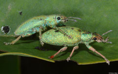 Weevils (Curculionidae sp.), Kampong Trach, Cambodia
