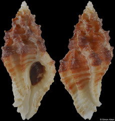 Dermomurex indentatus (Pacific Panama, 27,2mm)