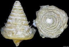 Operculum of Heliacus areola (Kenya, 5,5mm × 4,1mm)