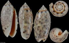 Oliva amethystina (Philippines, 32,8mm) corded