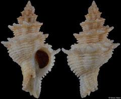 Babelomurex benoiti (Spain, 36,8mm)