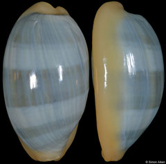 Cypraea errones (Western Australia, 25,3mm)