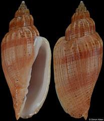 Callipara aikeni (nominate form) (Mozambique, 62,4mm)