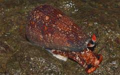 Conus dalli (Cebaco Island, Pacific Panama)