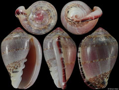 Marginella pseudornata (South Africa, 24,0mm) F++ €40.00