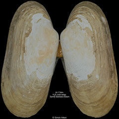 Phreagena kilmeri (Santa Barbara Basin, 73,9mm)