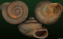 Aulacospira smaesarnensis (Thailand, 2,2mm) F++ €15.00