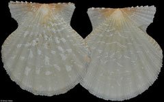 Antillipecten antillarum (Bahamas, 22,2mm)