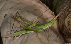 Slant-faced grasshoppers (Acrida sp.), Sahafina, Madagascar