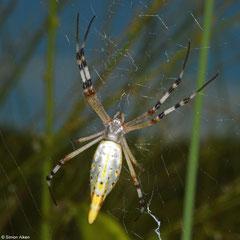 Orb-weaver (Araneidae sp.), Broome, Western Australia