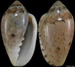 Marginella elephantina (South Africa, 19,8mm) F++ €4.80 (specimens for sale are 18-20mm and are of the same quality as the specimen illustrated)