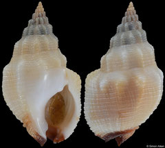 Nassarius speciosus (South Africa, 27,5mm) F+++ €5.50 (specimens for sale are 27-28mm and are of the same quality as the specimen illustrated)