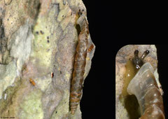Gyraxis excalibur (NE of Sánchez, Dominican Republic)