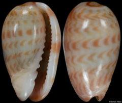 Gibberula thomensis (São Tomé & Príncipe, 6,8mm) F+++ €9.00