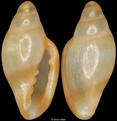 Dentimargo dentatus (South Africa, 3,9mm) F+++ €6.00 (specimens for sale are 3,4-3,9mm and are of the same quality as the specimen illustrated)