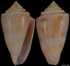 Conus ericmonnieri (Brazil, 38,5mm) F++ €17.00