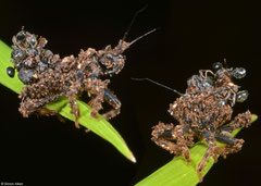 Assassin bug (Reduviidae sp.) nymph, Balut Island, Philippines