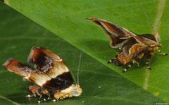 Metalmark moth (Choreutidae sp.), Bokor Mountain, Cambodia