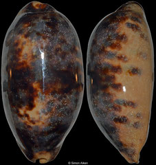 Cypraea testudinaria (Philippines, 112mm) F+++ €7.00
