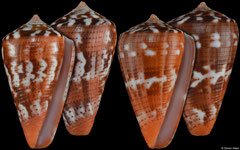 Conus vittatus (Pacific Panama, 28,5mm, 28,5mm) F+++ €15 (specimens for sale are 28-29mm and are of the same quality as the specimens illustrated)