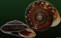 Trochomorpha meleagris (Solomon Islands, 20,3mm)