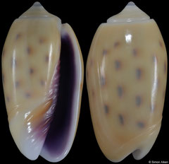 Oliva guttata (Solomons, 20,2mm) F+++ €0.60 (specimens for sale are 19-21mm and are of the same quality as the specimen illustrated)