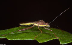 Rice bug (Leptocorisa sp.), Bokor Mountain, Cambodia