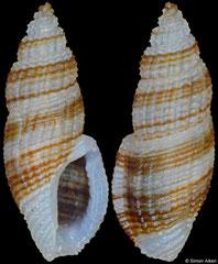 Daphnella reeveana (Philippines, 5,8mm)