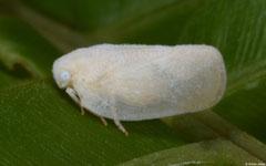 Planthopper (Flatidae sp.), Balut Island, Philippines