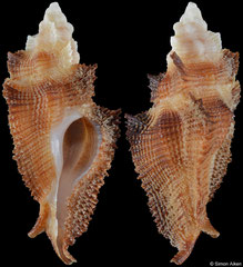 Pterynotus albobrunneus (Mozambique, 39,0mm)
