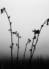 Disteln im Nebel