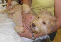 GRETA, Hinterbeinchen gelähmt - Juli 2012 - Greta darf für immer auf ihrer Pflegestelle bleiben. Ihre Behinderung  ist kein Hindernis, sie wird noch regelmäßige Therapie brauchen, aber  sie hat eine gesicherte und schöne Zukunft vor sich.