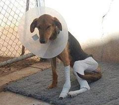 Dreibeinchen XINO hat im Juli 2012 das tollste Zuhause gefunden, das Hund bekommen kann :)  Mit Kindern und vielen anderen Tieren lebt er ein sorgenfreies  Leben bei Mannheim mit bester medizinischen Versorgung.