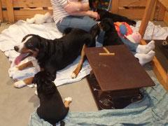 Appenzeller Sennenhunde Welpen