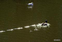 Ente im Schloßgraben ...