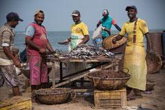 Negombo am Strand, Fischer