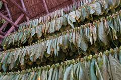 Tabakblätter trocknen, Viñales, Cuba