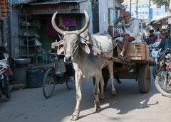 Rajasthan, Jodhpur, Indien, India, Oxenkarre